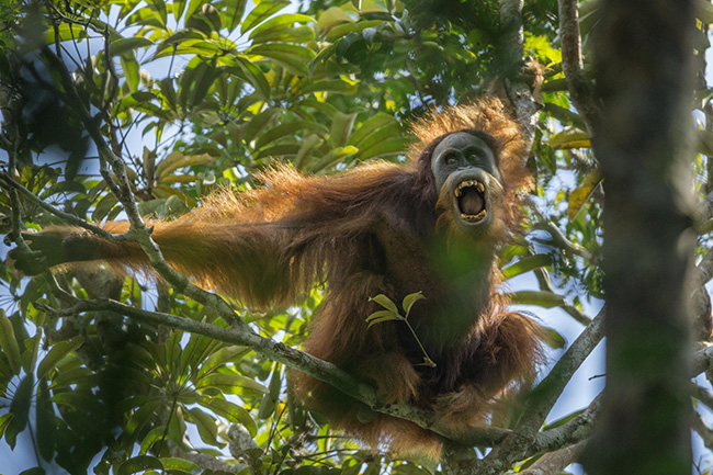 Tough Times for Orangutans - Tim Laman - A young male Sumatran orangutan threatens another male, in Batang Toru Forest. Male orangutans are intolerant of other males, and compete for territory and females.
